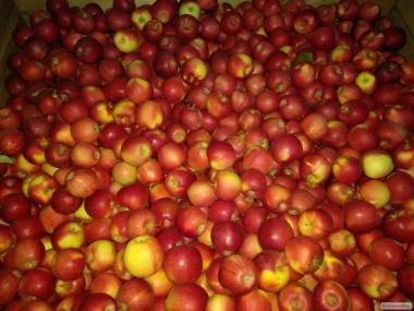 Продам яблука, сорт ГАЛА МАСТ, врожаю 2018 року