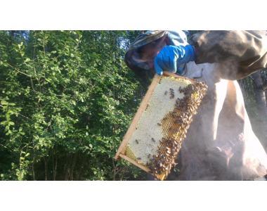 Пчелопакеты Карника 2019