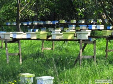 Якісні бджоломатки з Кіровоградщини