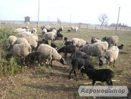 продам овец разных пород