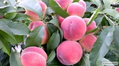 Саженцы персика сорта Харбинжер, от производителя