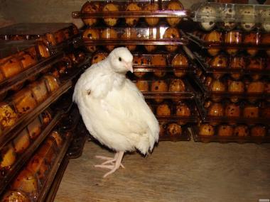 Инкубационное яйцо техасского перепела