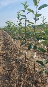 Саджанці плодових дерев