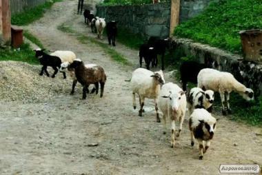 Продам овец и ягнят