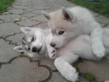Продам щенков. Порода сибирская хаски