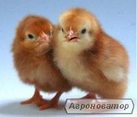Реализует цыплят мясо-яичных пород