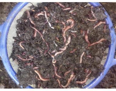 Каліфорнійські черв'яки родина