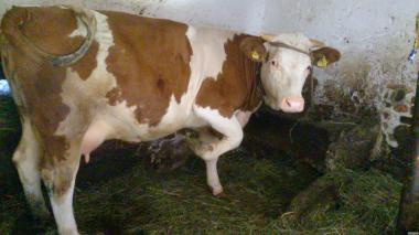 Коровы породы Симментальская