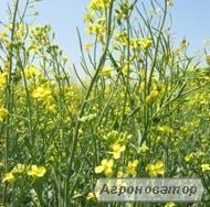 Інститут олійних культур НААН пропонує високоякісний посівний матеріал
