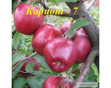 Саженцы яблони сорта Кариот-7, от производителя, отличного качества