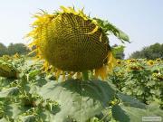 Семена подсолнуха «Днестр» (Сербский гибрид)