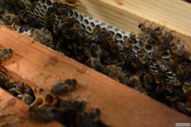 Привезем пчелопакеты карпатской породы. Качественные матки. 2017