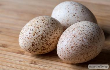 Инкубационные яйца индюков