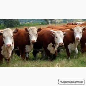 Продам Биків і Корів