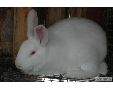 Продаю кролей мясной породы