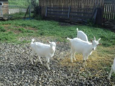 Зааненские кізлята