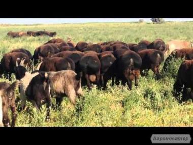 Продам Гисарских овец