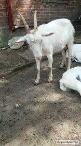 Продам козы