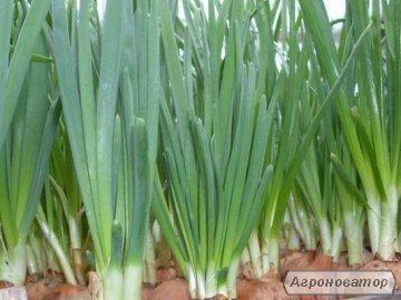Продажа зеленого лука Штутгарт оптом от производителя, дешево.