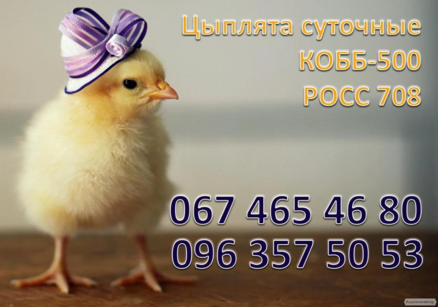 Цыплята-бройлеры КОББ-500 РОСС-708