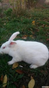 Продам кролів термонський білий