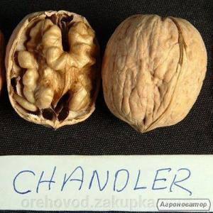 Саджанці горіха Chandler