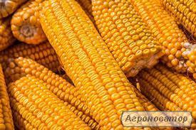 Продам кукурузу 1 сорт