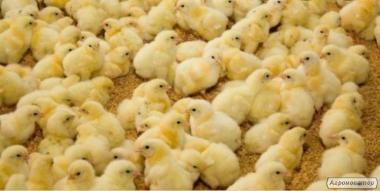 Реализация цыплят, бройлеров, уток