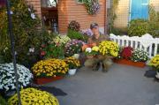 Продам хризантему в горщиках