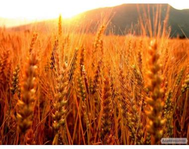 Куплю жито рожь