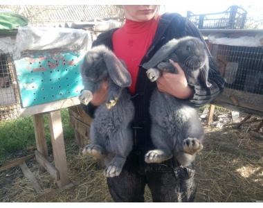 Продам кроликов французский баран (окрас голубой)