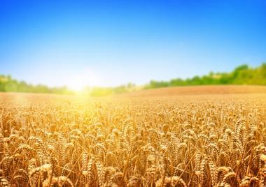 Продам пшеницу, сельхозпроизводитель,2,3 класса урожая 2020 года.
