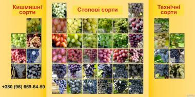 Саженцы винограда(+Фото)