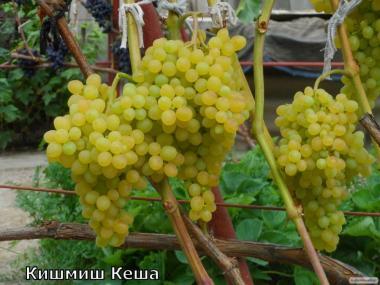 Саджанці винограду(+Фото)