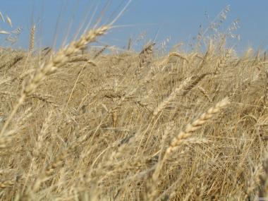 Жито насіння