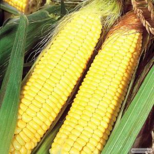 НВФ «ГРАН» предлагает семена гибрида кукурузы ВН 63