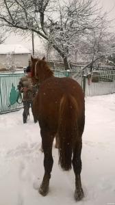 продам молодых рабочих лошадей