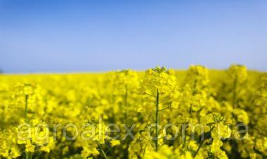 Синтетик насіння озимого ріпаку