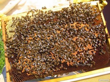 Продам бджолопакети 50 шт, Сумська обл.