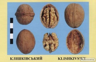 Саджанці горіха волоського сорт Клішківський