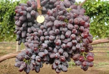 Виноград темно-синий ранний кишмишний Юпитер