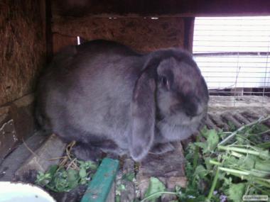 кролик,кролиця, самка Французький баран