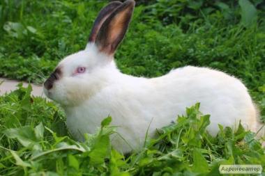 Продам кроликов, кроликов, новозеландцев, калифорнийцев, венских
