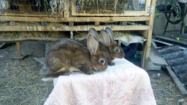 Продам кролики породы Рекс