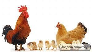 Курчата добові м'ясо-яєчних порід, домашні