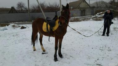 продам кінь кобила