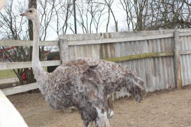продам самку африканського страуса