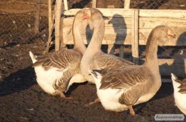 Продам гусей породи холмогори