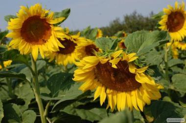 Семена подсолнечника (подсолнуха) Антей+ под Гранстар