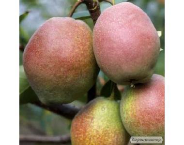 Саджанці груші Киргизька зимова.